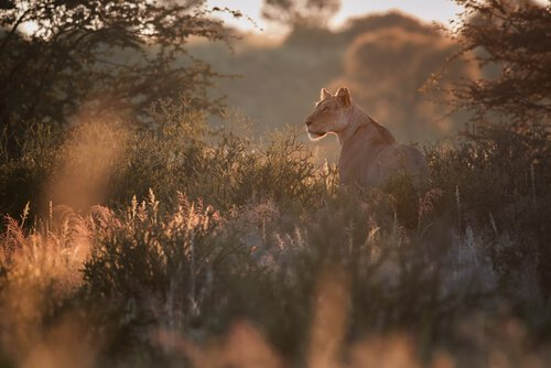 Leoa caçando em seu habitat