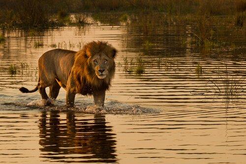 Os leões que caçam no mar