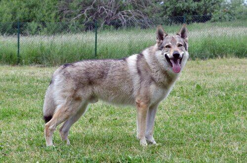 Características do cão lobo checoslovaco