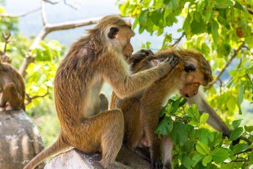 Macaco limpando o outro