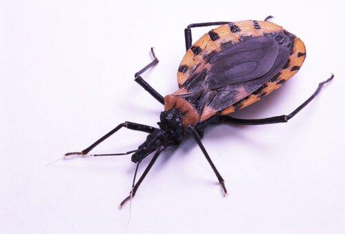 Barbeiro causador da doença de Chagas