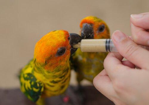 Pássaro se alimentando com uma seringa