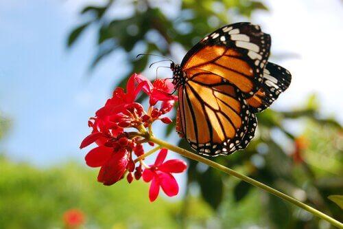 A incrível odisseia das borboletas-monarca