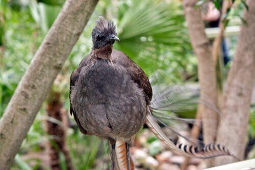 pássaro-lira soberba