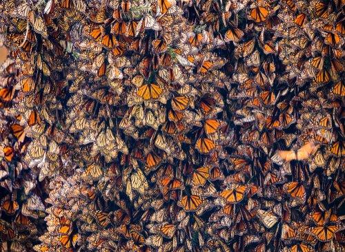 Migração das borboletas-monarca