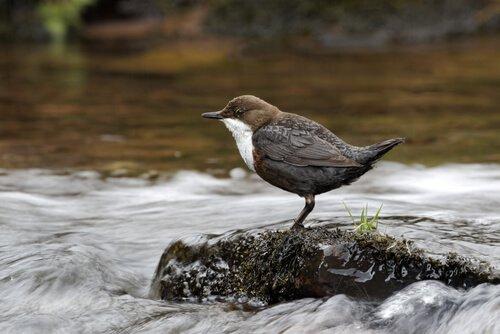 Conheça o Melro-d'água, uma ave mergulhadora