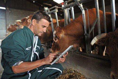 Aplicação de antiparasitários em bovinos