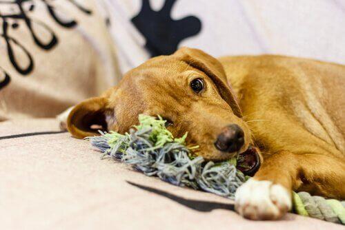 6 passos para fazer mordedores para cães