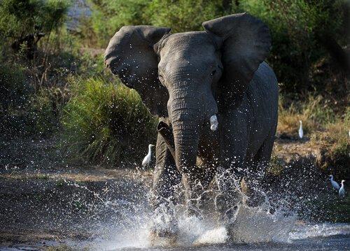 O que é o período de must dos elefantes?