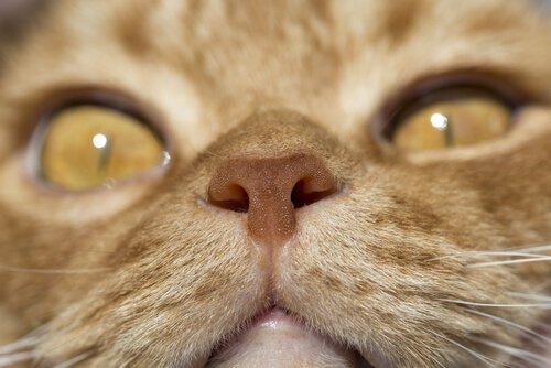 Nariz de um gato