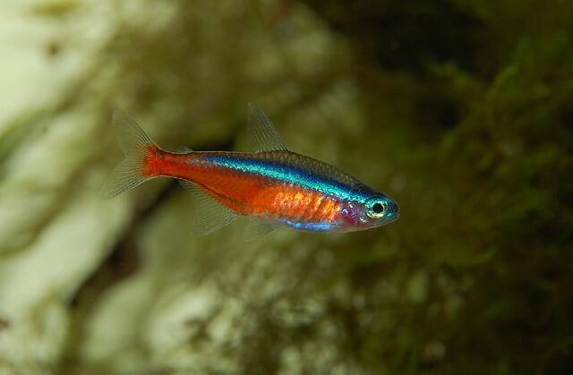 Peixe tetra-néon