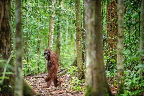 O orangotango-de-bornéu.