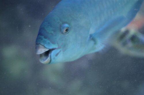 peixe papagaio azul no mar
