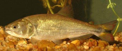 Peixe dourado