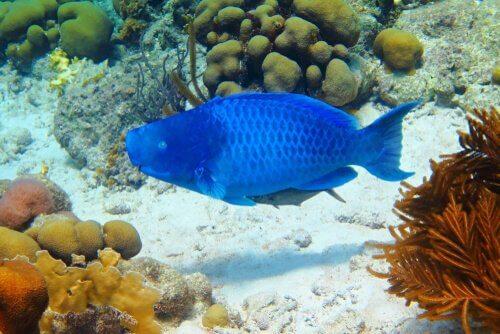 Peixe-papagaio-azul, informações e características