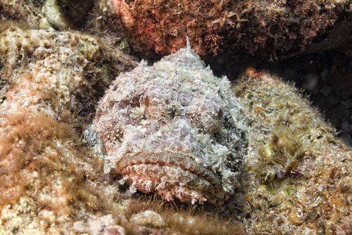 Peixe-pedra, o habitante quase invisível do recife