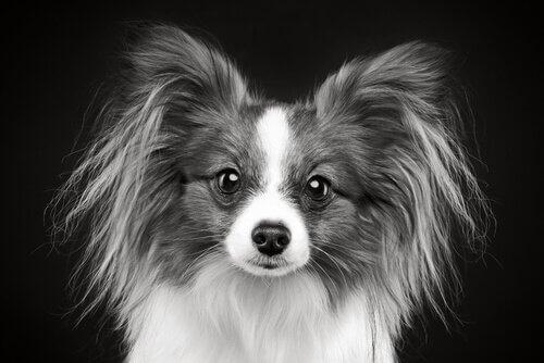 pelos brancos em cães jovens