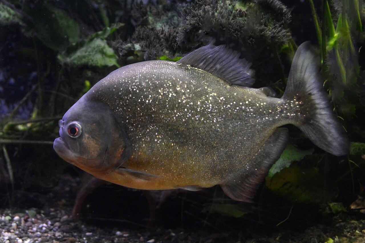 Piranha amazônica