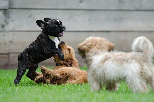 Filhotes de cachorro brincando e socializando