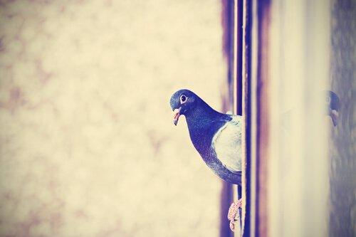 Pombos são considerados uma praga por algumas pessoas