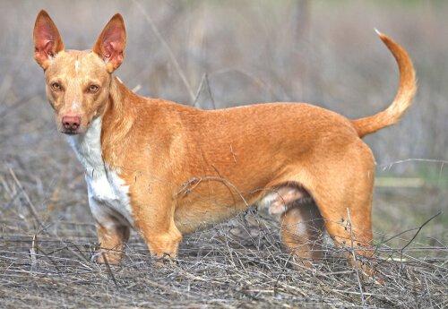 Características dos cães podengo