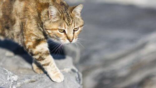 o gato doméstico e a caça