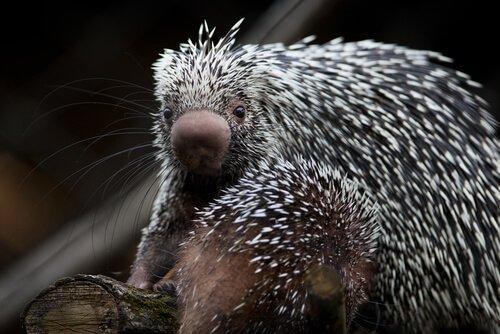 Conheça o adorável porco-espinho da cauda preênsil