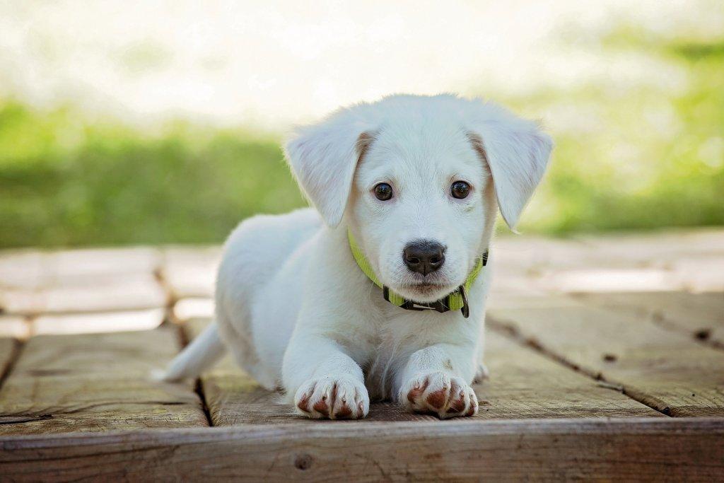 O mito das raças de cães hipoalergênicos