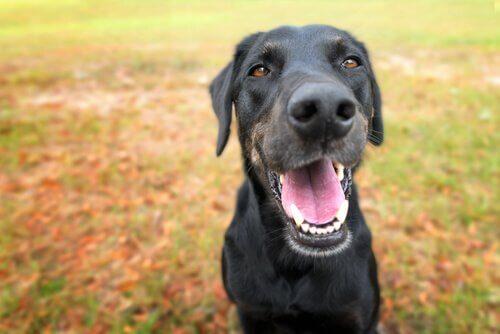 dentição canina