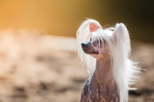 Conheça as raças de cães mais estranhas que existem