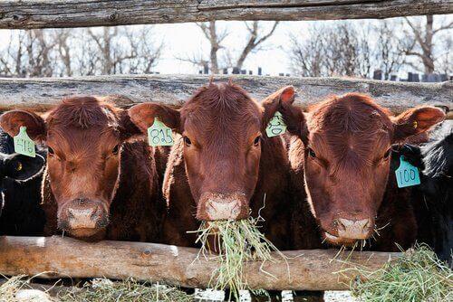 Vacas comendo grama