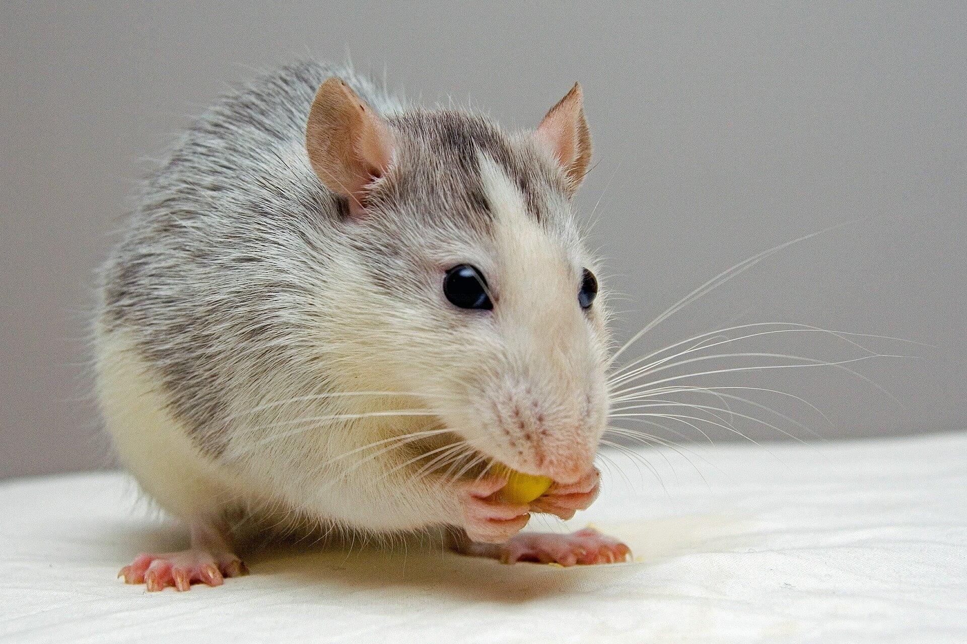 Enriquecimento ambiental para ratos