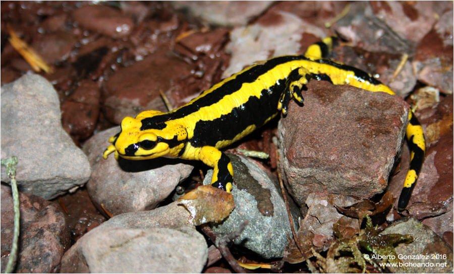 Espécie de salamandra comum na Espanha