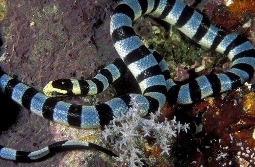 Serpente marinha, uma das mais venenosas do mundo