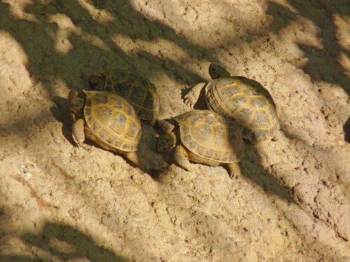 Como saber se uma tartaruga é macho ou fêmea?