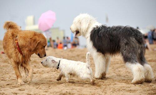 três cães brincando na areia