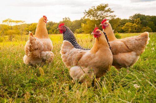 Tipos e tamanhos de galinhas