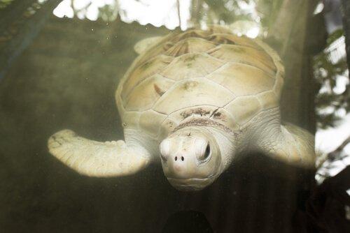 Tartaruga branca nadando