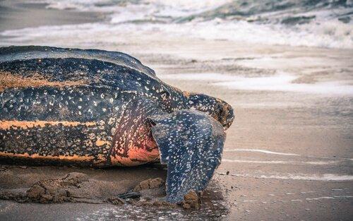 Tartaruga rumo ao mar