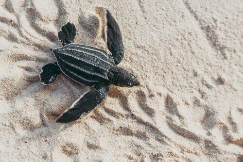 Tartaruga-de-couro: características, alimentação e habitat