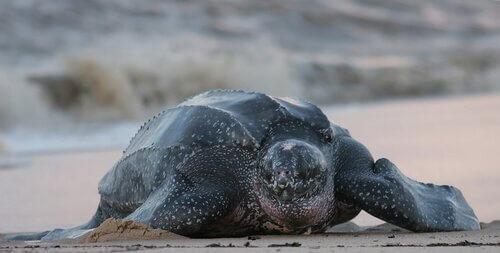 Habitat da tartaruga-de-couro