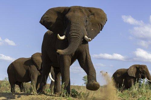 must dos elefantes: aumento da testosterona