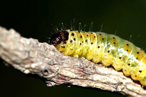Tipos de lagartas que podemos encontrar