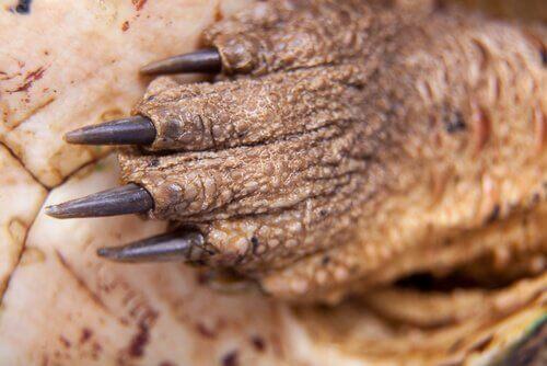 Pata da tartaruga mata-mata