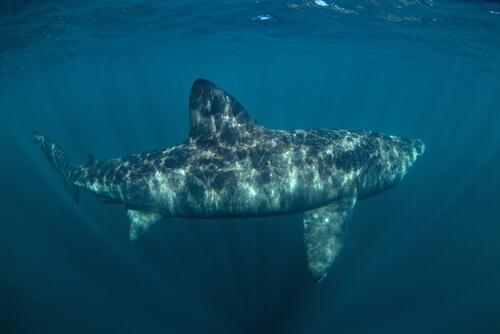 Tubarão-elefante no mar