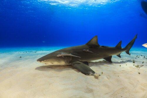 Curiosidades sobre o tubarão-limão