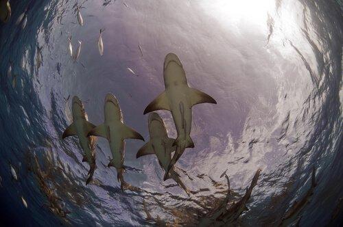 tubarões-limão