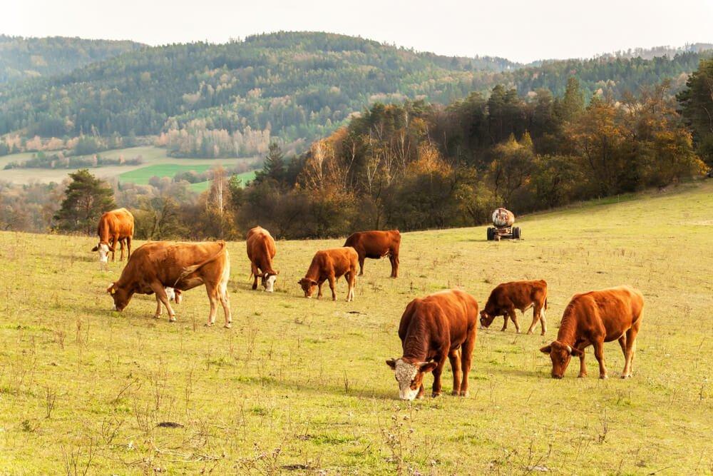 Vacas pastando: a importância dos herbívoros no ecossistema.
