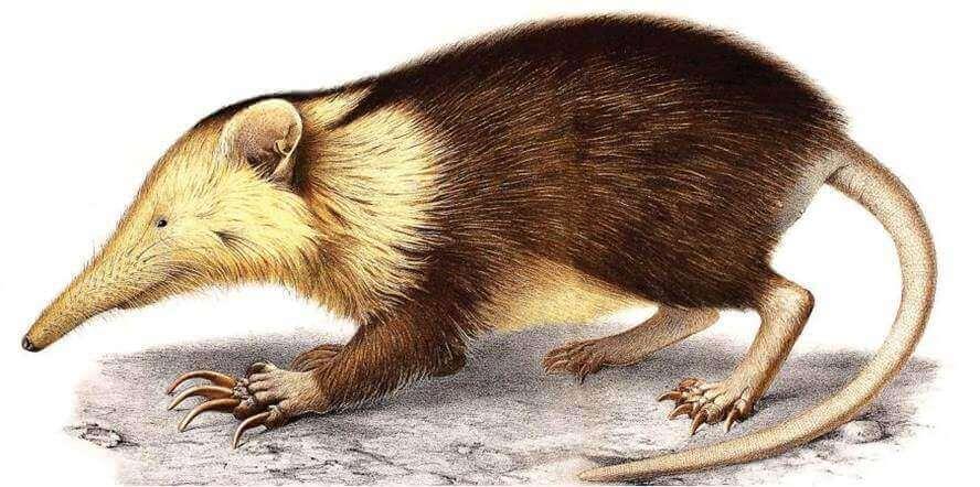 Solenodonte, um fóssil vivo