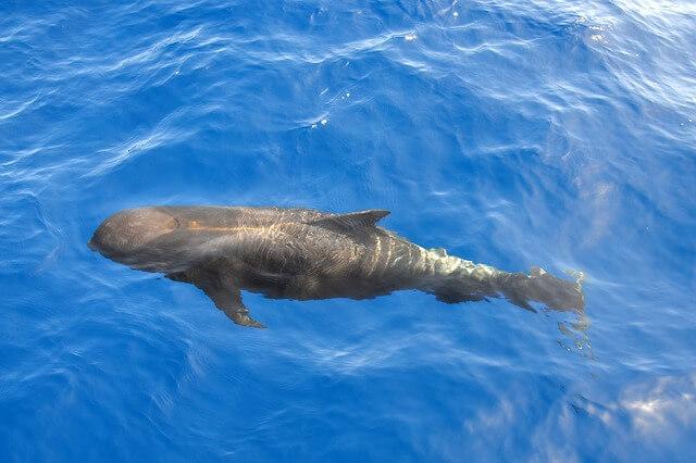 Baleia-piloto comum